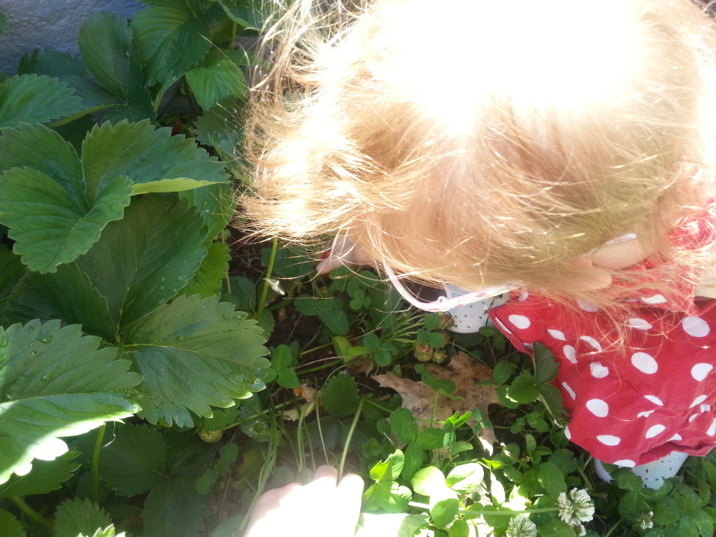 Hunting for a ripe strawberry.