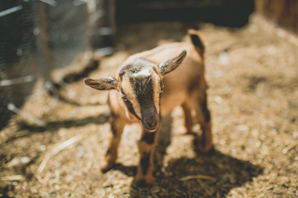 Nigerian Dwarf Baby Goats For Sale Bucklings Wethers Heirloom Gardens